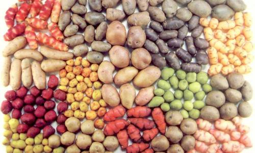 Больше полсотни ведер с сотки: как удачно посадить картофель