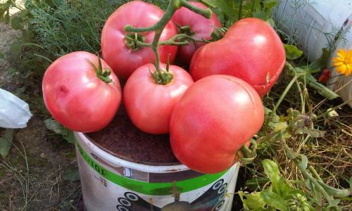 Все грядки будут в красных помидорах, если начнете так ухаживать за рассадой весной